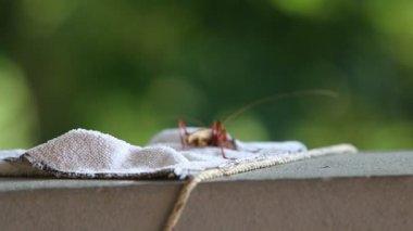Red locust hiding — Vídeo de stock