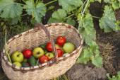 Basket of vegetables in the garden — Stock Photo
