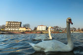 Swans on the Vistula River — Stock Photo