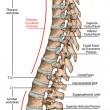 Постер, плакат: Didactic board anatomy of human bony system human skeletal system the skeleton spine the bony spinal column vertebral column vertebral bones trunk wall anatomical body lateral view