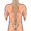 Anatomy of human bony system, human skeletal system, the skeleton, spine, the bony spinal column, columna vertebralis, vertebral column, vertebral bones, trunk wall, anatomical body, posterior view — Stock Photo #60751661