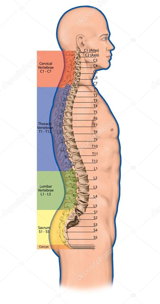Human back anatomy