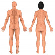 Male female anatomical body, surface anatomy, human body shapes, human anatomy, anterior posterior view, full body — Stock Photo #60761053