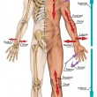 General terms of location and direction, cardinal planes and axes, directional references, directional terms tell us where body parts are located in human anatomy — Stock Photo #60761103