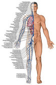 Human bloodstream - didactic board of anatomy of blood system of human circulation sanguine, cardiovascular, vascular and venous system — Stockfoto