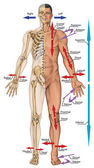 General terms of location and direction, cardinal planes and axes, directional references, directional terms tell us where body parts are located in human anatomy — Stock Photo
