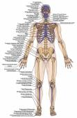 Anatomical body, human skeleton, anatomy of human bony system, body surface contour and palpable bony prominences of the trunk and upper and lower limbs, anterior view, full body — Stock Photo