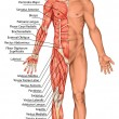 Anatomical board, male anatomy, man's anatomical body, human muscular system, surface anatomy, body shapes, anterior view, full body — Stock Photo #60919197