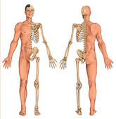 Man's anatomical body, human skeleton, anatomy of human bony system, surface anatomy, body shapes, anterior posterior view, full body — Stock Photo