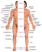 Male and female anatomical body, surface anatomy, human body shapes, anterior view, parts of human body, general anatomy — Stock Photo