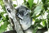 Cute Koala on the tree — Stock Photo