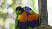 Australian rainbow lorikeets. — Stock Photo