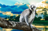 Ring-Tailed Lemur (Lemur Catta) in the nature — Stock Photo