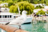 Seagull in Queenstown, New Zealand — Stock Photo