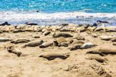 Elephant seals in California, USA — Stock Photo