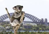 Lindo koala — Foto de Stock