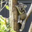 Cute Koala on the tree — Stock Photo #63649085