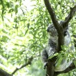 Cute Koala on the tree — Stock Photo #63649347