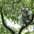 Cute Koala on the tree — Stock Photo #63649803
