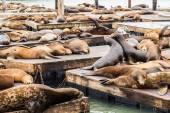 Морские львы в Сан-Франциско — Стоковое фото