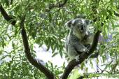 Cute Koala on the tree — Stock Photo