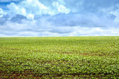 Soy bean plantation in Brazil, South America — Stock Photo