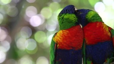 Australia beautiful birds kissing on branch — Stock Video