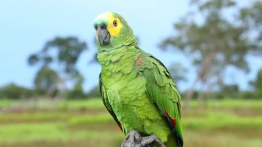 Brazilian Parrot on Brazil — Stock Video