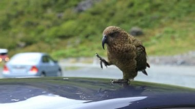 Native alpine parrot of New Zealand — Stock Video