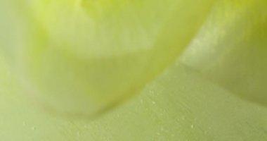 Panorama Gardenia flower frozen, on mirror table. Ice melts. — Stock Video