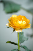 Yellow color rose flower — Stock Photo