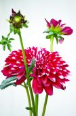 Pink color dahlia flower — Stock Photo