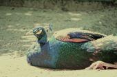 Blue color picock in the field — Fotografia Stock