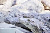 Nile Crocodile very closeup image capture. — Foto de Stock