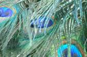 Abstract background of picock feather — Stock Photo
