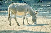 African wild ass eating, Equus africanus. — Stock Photo