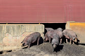 Iberian pigs and pigsty — Stock Photo