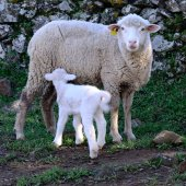 Lamb and  ewe - square — Stock Photo