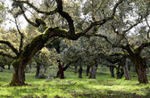 Landscape with holm oaks trees — Stock Photo