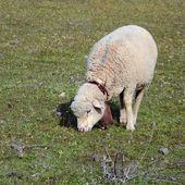 Ewe grazing - square — Stock Photo
