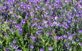 Viper's Bugloss (Echium vulgare) flowers — Foto de Stock