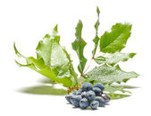 Venomous blue berries isolated on the white — Stock Photo