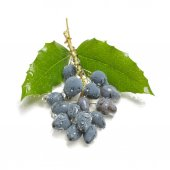Unknown blue berries with foliage — Stock Photo