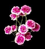 Variegated pink white carnation — Stock Photo