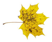 Yellow spotty maple leaf isolated on the white background — Stock Photo