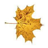 Brown spotty autumn maple leaf isolated on the white background — Stock Photo