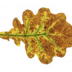 Autumn oak leaf isolated on the white background — Stock Photo #56949501