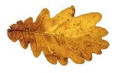 Brown oak autumn leaf isolated on the white background — Stock Photo