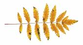 Autumn rowan leaf isolated on the white background — Stock Photo