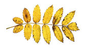 Yellow autumn rowan leaf isolated on the white background — Stock Photo